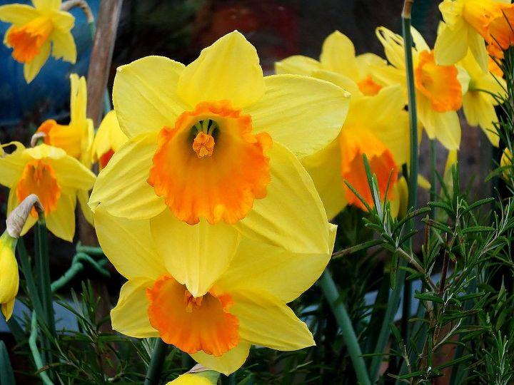 spring is definitely on the way, gardening, Daffodils