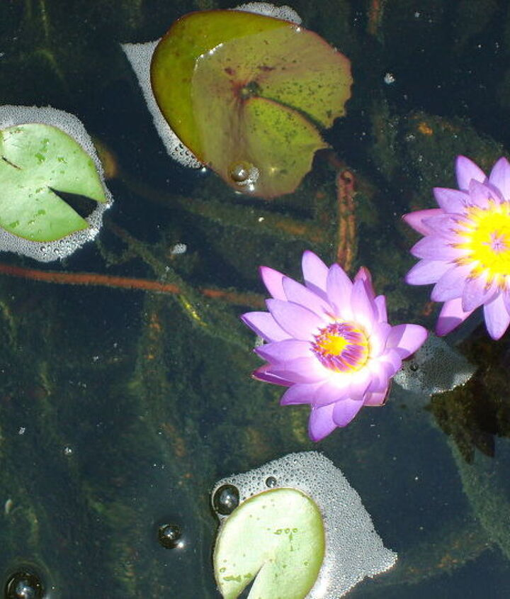 waterlilies, ponds water features