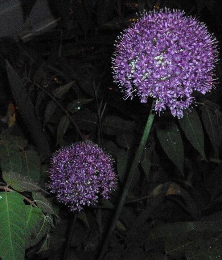 Allium at night