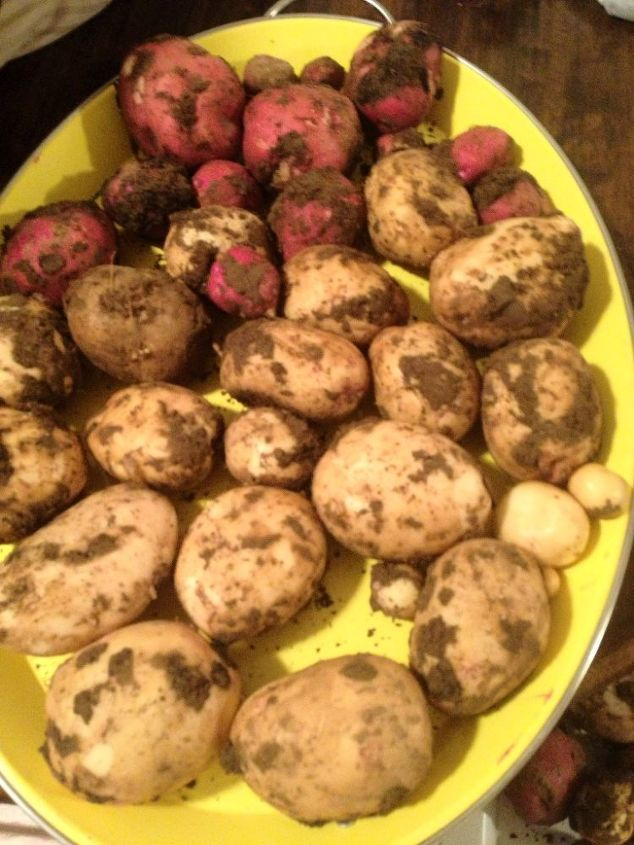 2 raised beds 57 pounds of potato s, gardening, raised garden beds