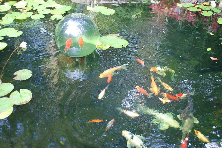 Fish come up and out of the pond.