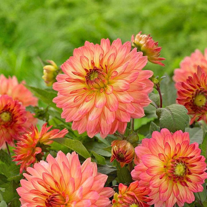 i d like help on growing small dahlia s, gardening