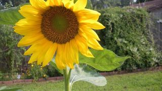 planting seeds, flowers, gardening, A beautiful sunflower came up where we have our bird feeder Imagine that