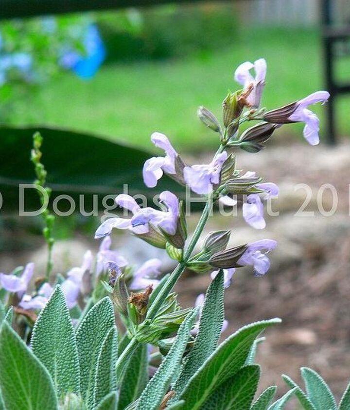 Blooms on culinary salvia, Salvia officinalis.