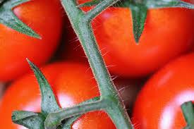 q cutting leaves off tomato plants, gardening