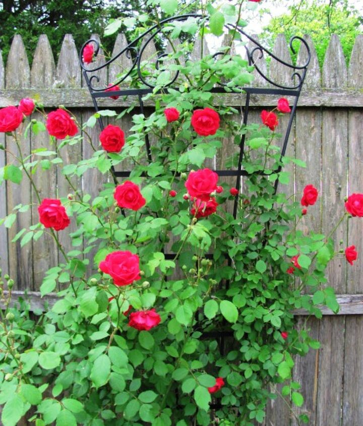Climbing rose in the paved garden.
