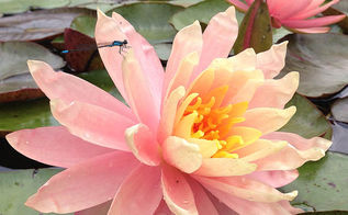 grow waterlilies and lotus in a backyard pond, flowers, gardening, outdoor living, ponds water features, Gorgeous Pink Grapefruit waterlilies add pops of pink across the pond s surface