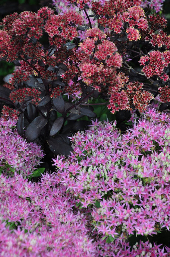 Taller varieties of sedums offer a range of flower colors: Everything from white to rose to pink.