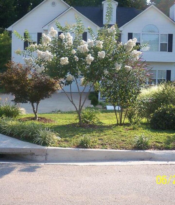 crape myrtles in bloom, flowers, gardening