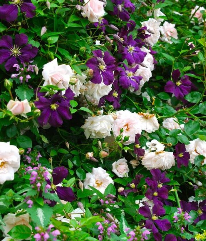 Pink Rosa, Clematis viticella 'Etoile Violette' and the pink-whirls of Lamium maculatum woven together.