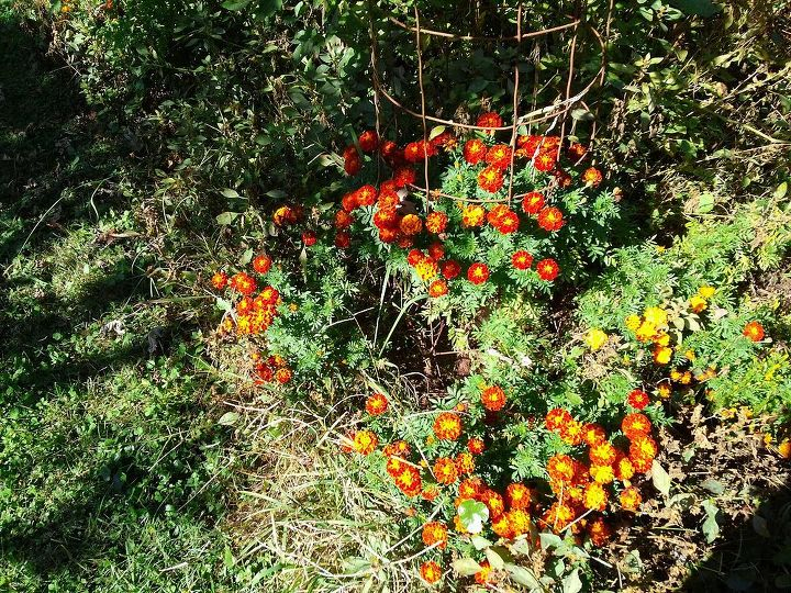 Some marigolds planted around my tomato patch