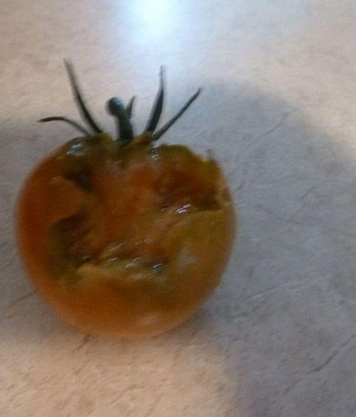 tomatoes, gardening