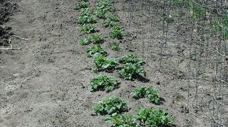 seed starting plant labels, cleaning tips, gardening, potato plants are planted in six rows with two row side by side the plants are 1 1 2 foot apart with the second row also 1 1 2 away and staggered there is 3 foot separation between the double rows for hilling