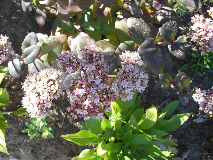 Purple stone cropped attract many bees great for pollination & propogation.