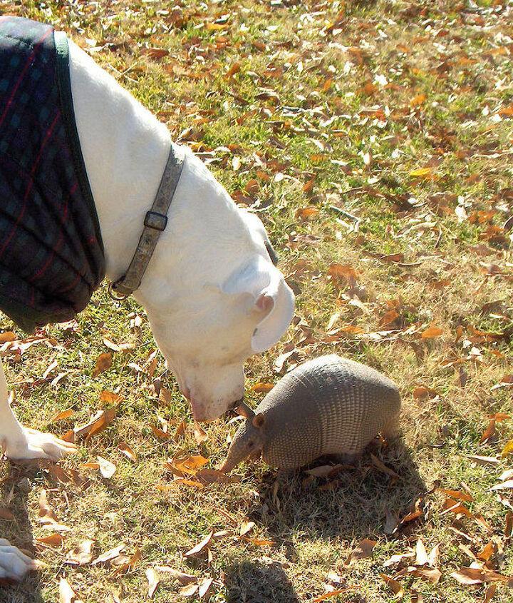 pet armadillo, pets animals
