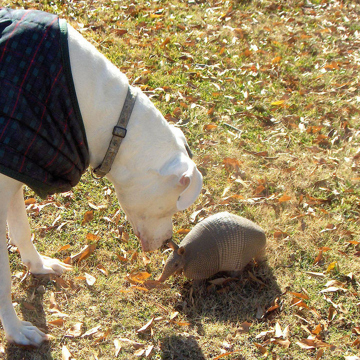 pet armadillo, pets animals