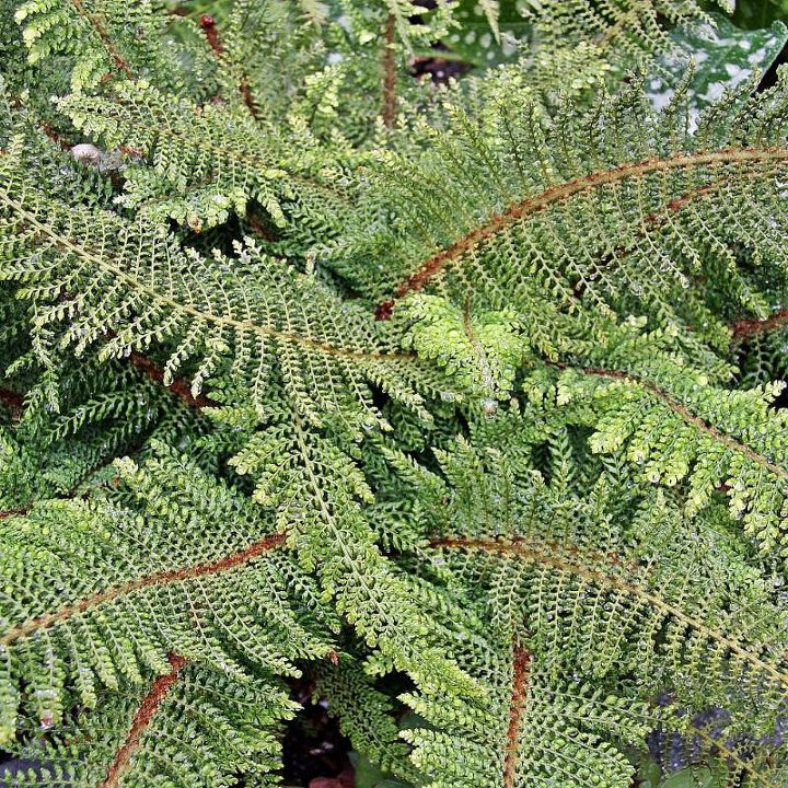 identify fern, gardening