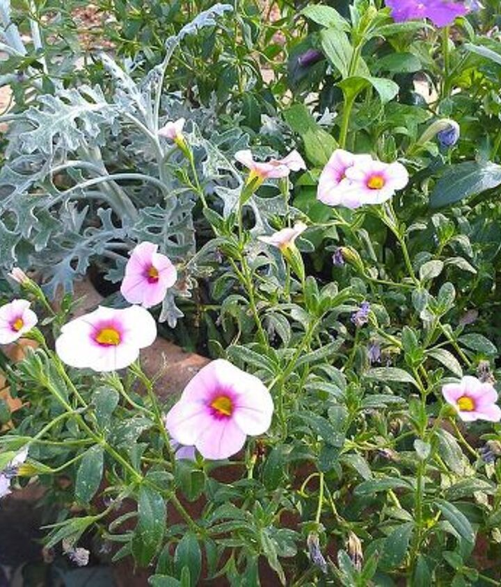 "The calibrachoa, which are a wonderful ""spiller"""