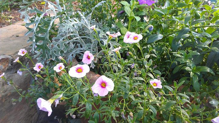"""The calibrachoa, which are a wonderful """"spiller"""""""