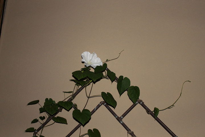 Moon Flower Just starting to bloom
