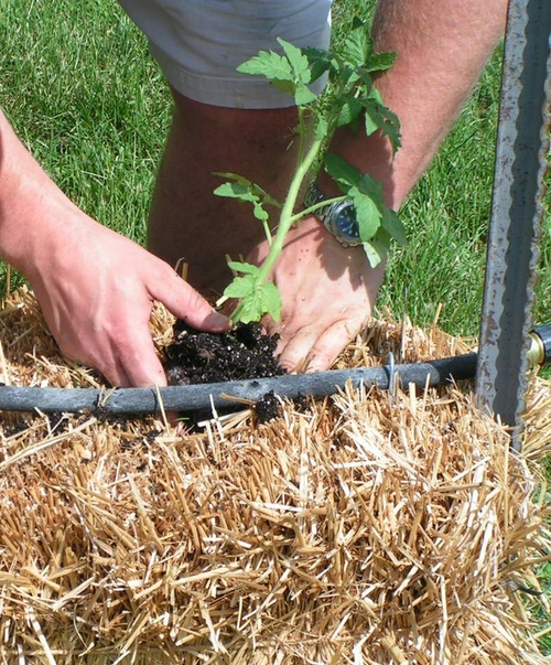 Planting tomatoes in June