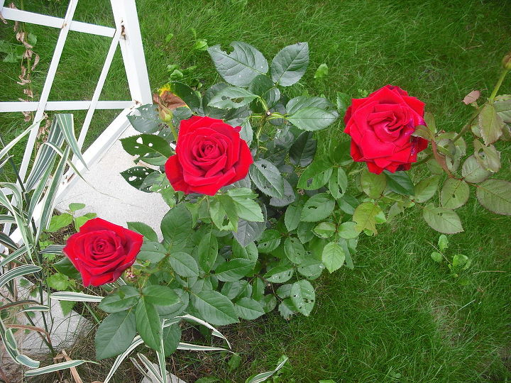 sharing my roses and flowers with garden 4, flowers, gardening