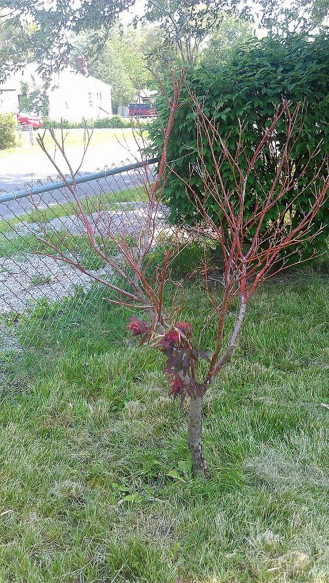 is something wrong with my mom s japanese maple, gardening, Very few leaves and it s June