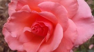 this is one of many rose bushes i grow just wanted to share it, gardening