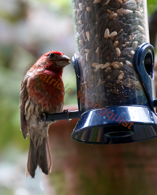 This image was included in an entry within TLLG's Blogger Pages @ http://www.thelastleafgardener.com/2012/07/oh-where-oh-where-has-my-sweet-cardinal.html
