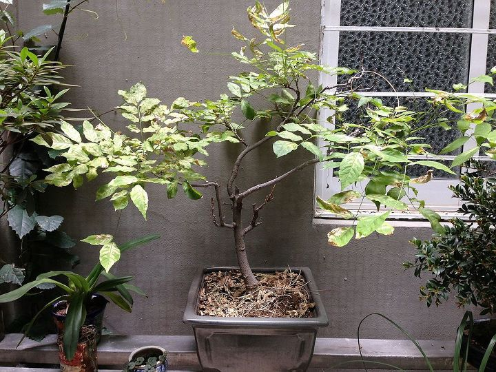 q what is wrong with my wisteria, gardening, Today after heat wave