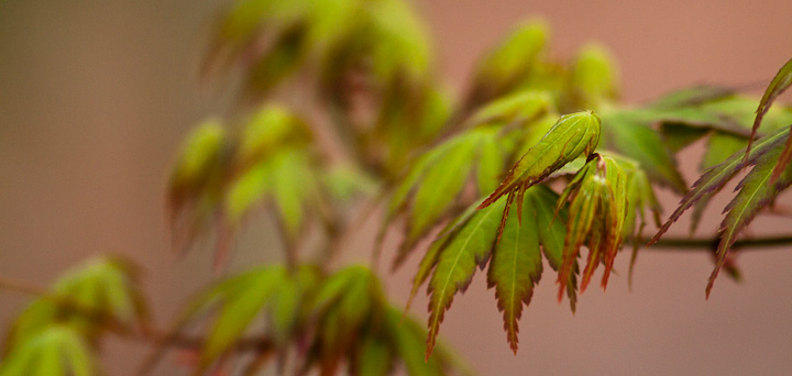 Just another Japanese Maple leafing out in spring.