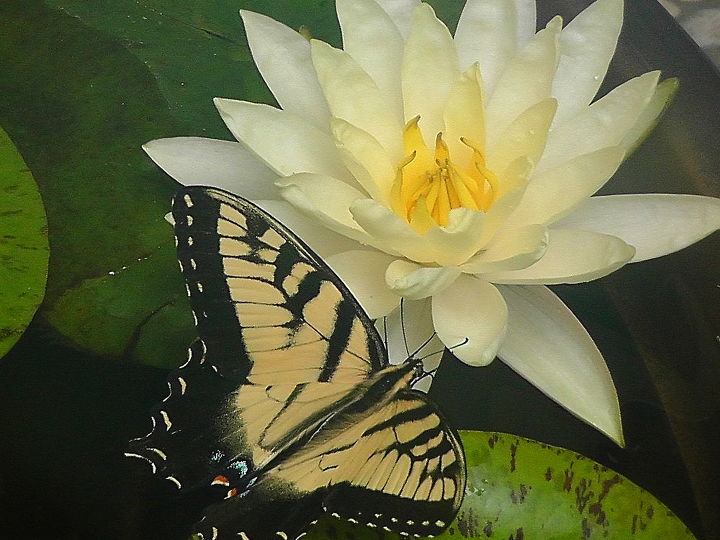 I think this butterfly is thirsty for water not only for nectar from the water lily.