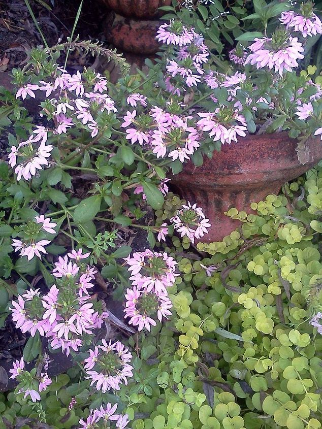 Pink fan flower with Creeping Jenny