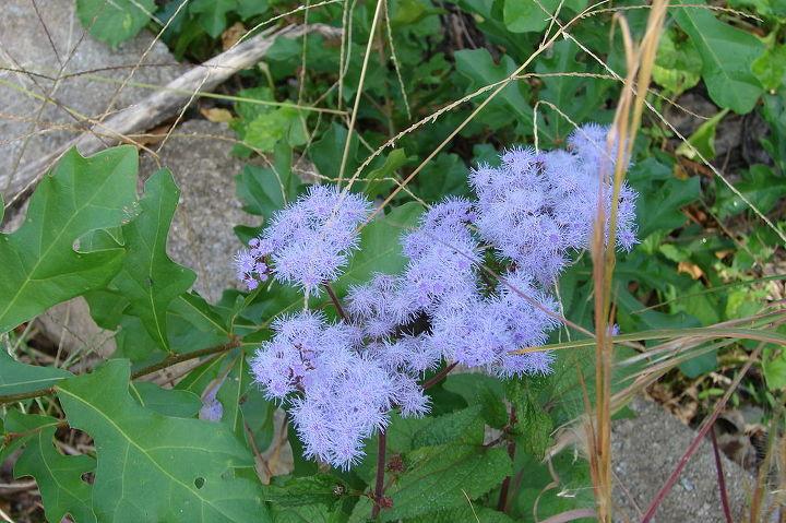 My  favorite fall wildflower- Blue mist flower,  aka hardy ageratum (eupatorium coelestinum).