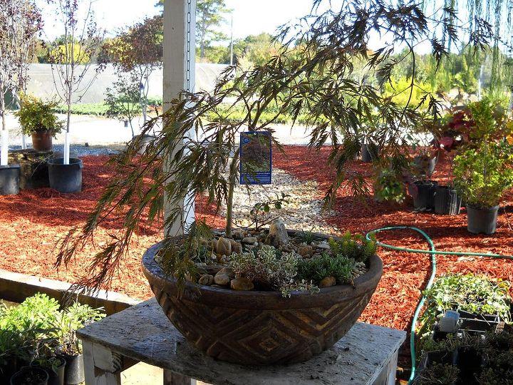Japanese Maple (bonsai) under-planted with mondo grass and sedum