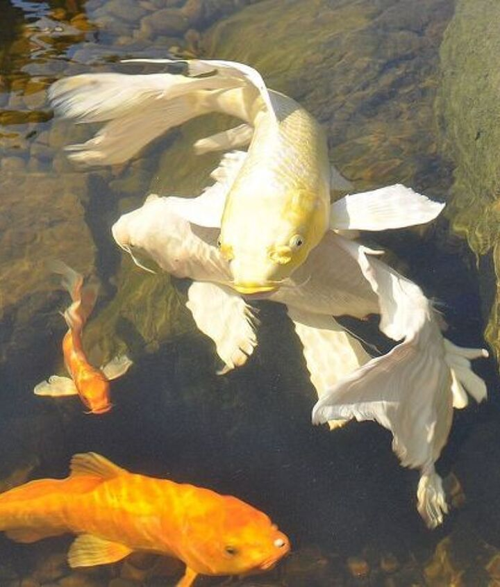 spring foam on the pond surface no worries its just fish spawning, outdoor living, ponds water features