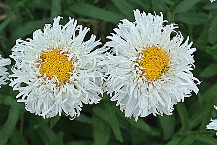 crazy daisies, gardening