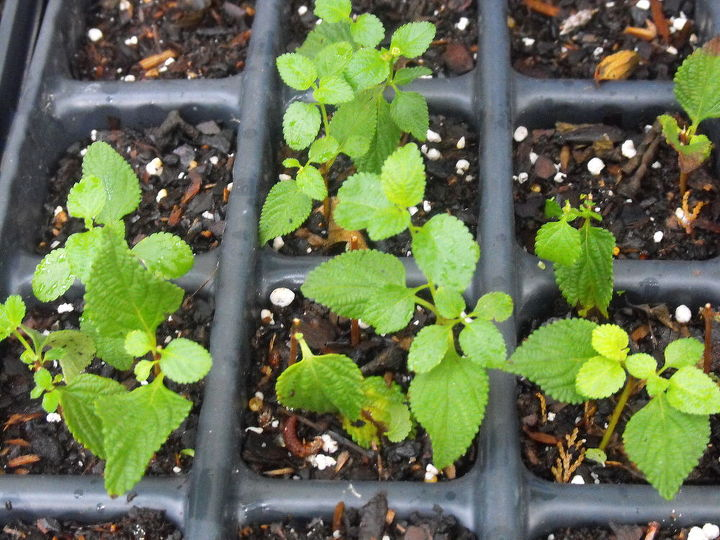cuttings i am rooting, gardening