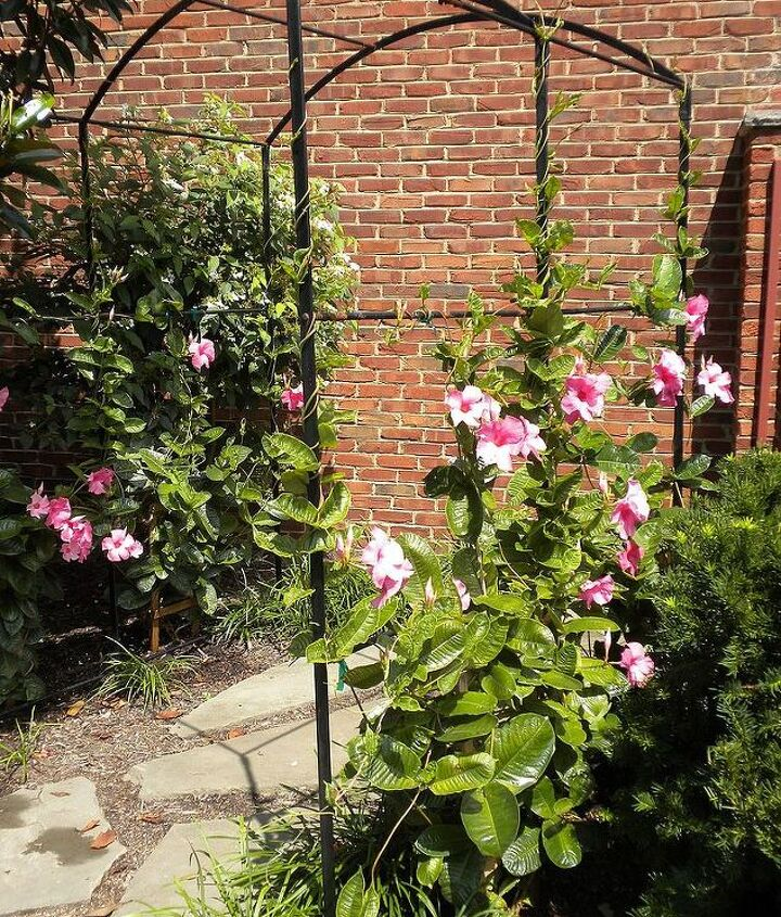 Mandevilla, reaching for top of trellis (Early Aug)