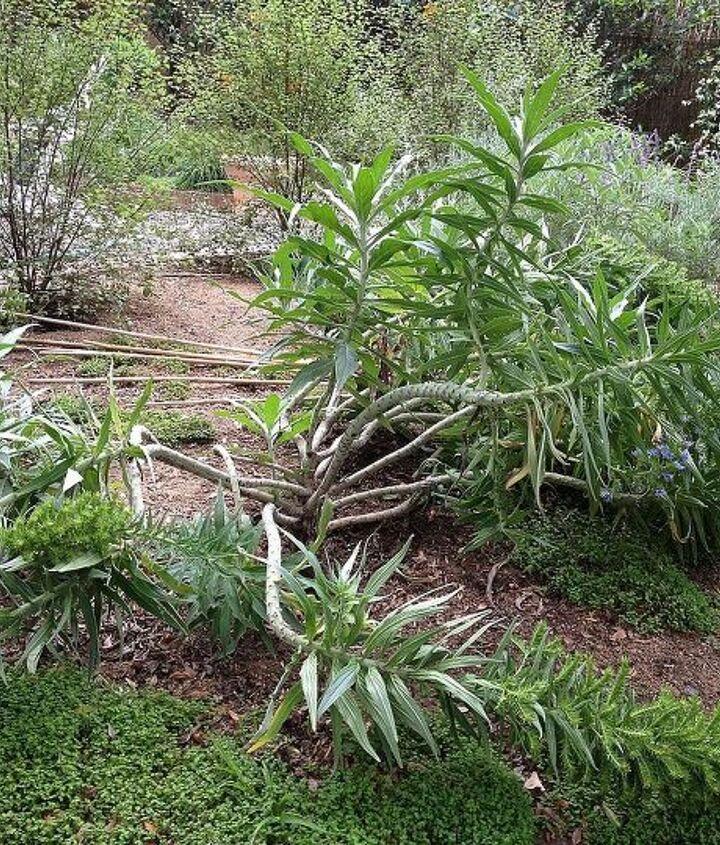 fallen cone plant today