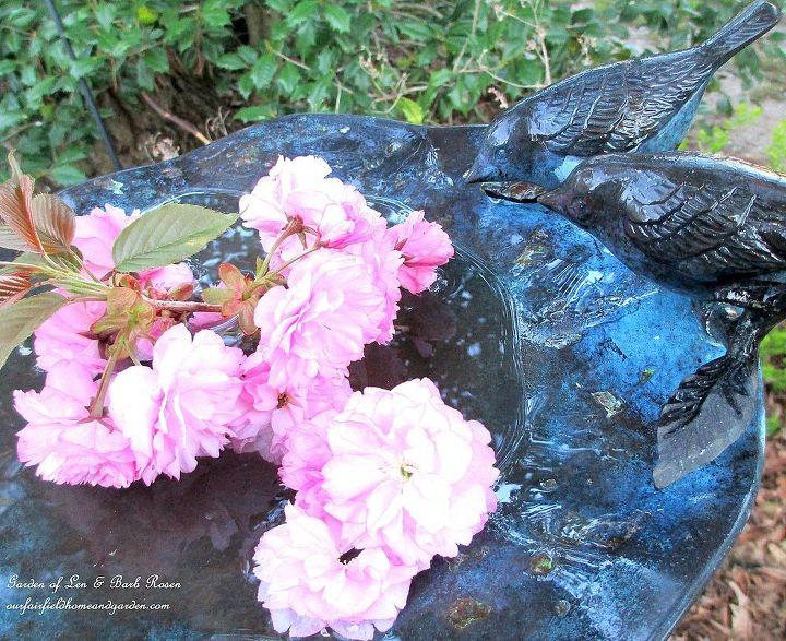 Flowering Cherry Tree Blossoms