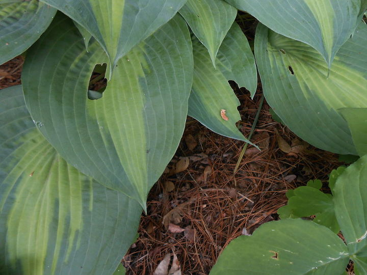 "Hosta ""Lakeside Shore Master"" with damage"
