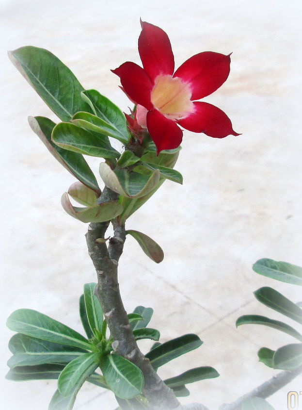 desert rose adenium obesum bonsai, gardening