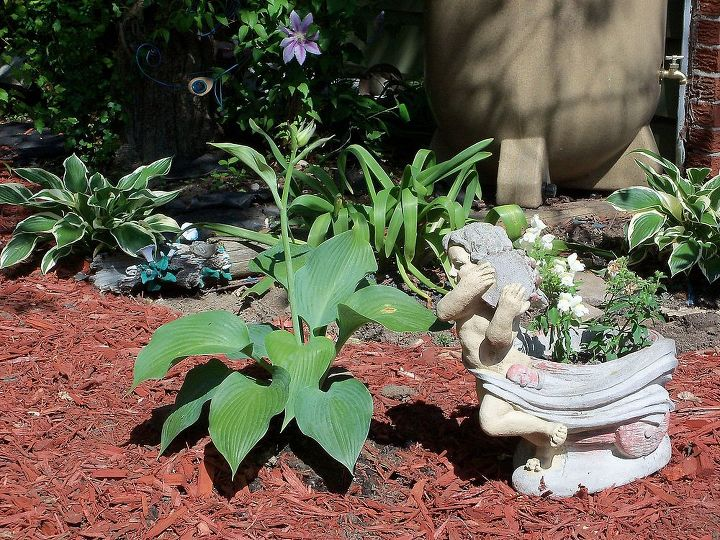 Hostas doing well in shady area. Also set up the rain barrel which you can see a little bit of it in the right corner