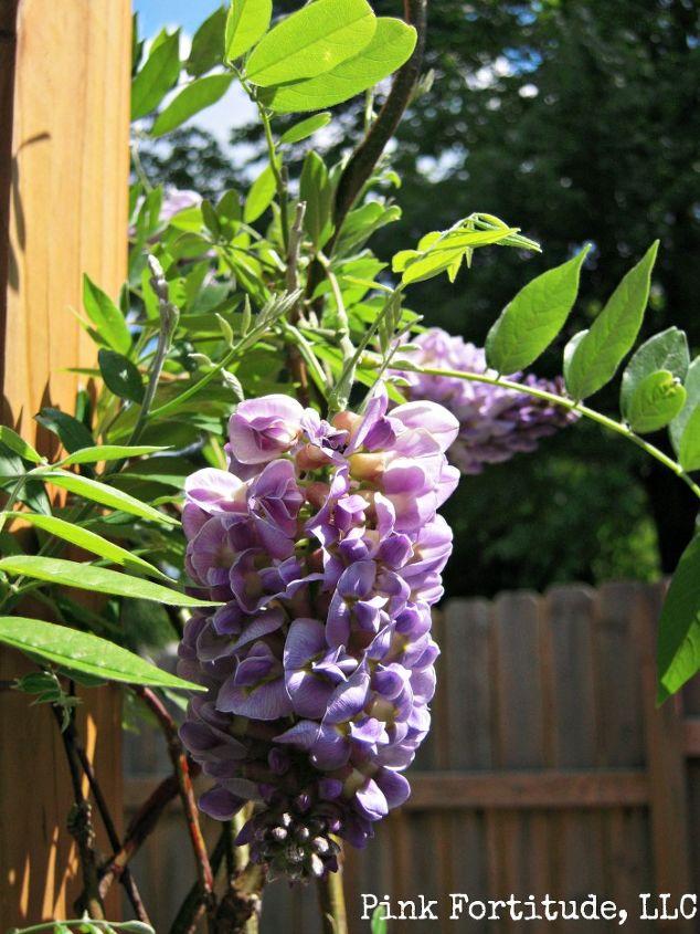 containing wisteria, container gardening, flowers, gardening