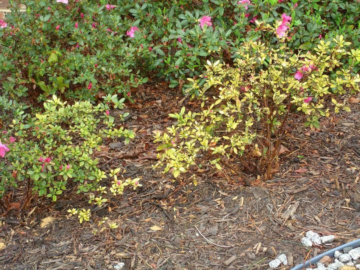 q what is wrong with this encore azalea i thought it was insects and sprayed several, flowers, gardening