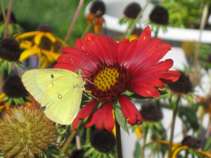 flowers w a couple of butterflies, flowers, gardening, pets animals