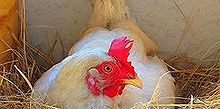 keeping chickens for fresh eggs, homesteading, pets animals, Laying an egg