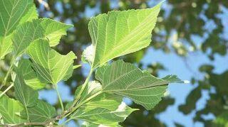 maple sapling, gardening, Neighbor s mulberry tree