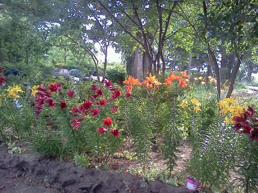 my rock garden, flowers, gardening, landscape, These are some of our lillies